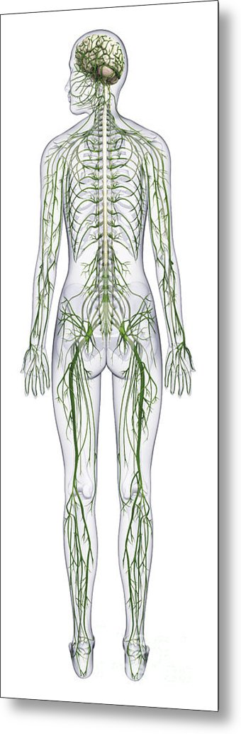 Anatomical Metal Print featuring the photograph Nervous System, Illustration by Raj Dashi / Dorling Kindersley