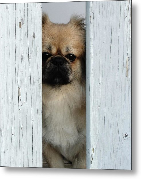Dog Animals Pet Metal Print featuring the photograph Gizmo by Randy Dixon