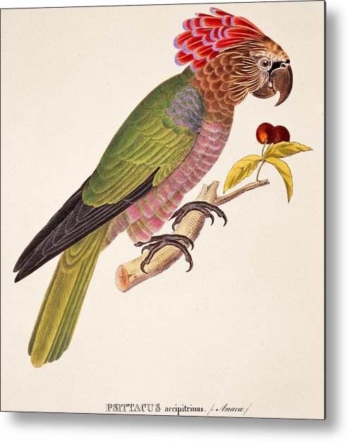 Bird; Parrot; Exotic; Colourful; Bright; Feathers; Plumage; Perched; Perch; Branch; Study; Drawing; Ornithology; Ornithological; Brazilian; South American Metal Print featuring the painting Psittacus Accipitrinus by German School