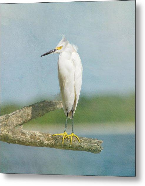 Egret Metal Print featuring the photograph Snowy Egret by Kim Hojnacki