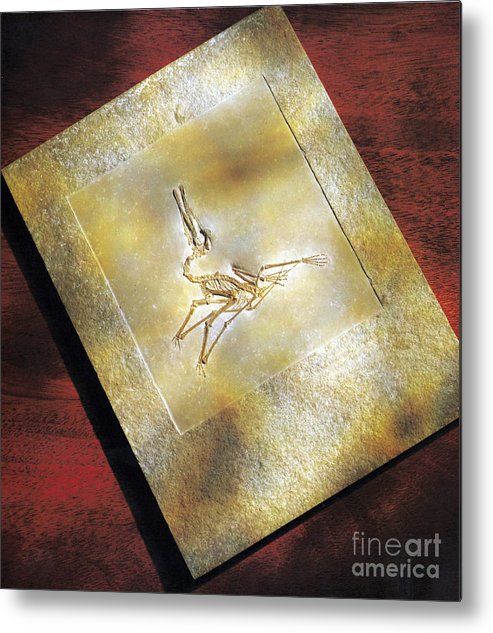 Dinosaur Metal Print featuring the photograph Pterodactylus Elegans by Photo Researchers