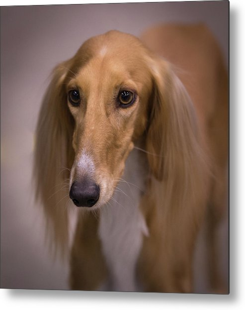 Saluki Metal Print featuring the photograph Soft And Silky by Jeff West