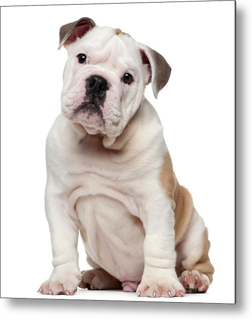 English Bulldog Puppy 2 Months Old Metal Print By Life On White