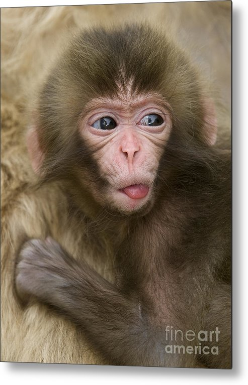 Asia Metal Print featuring the photograph Baby Snow Monkey, Japan by John Shaw