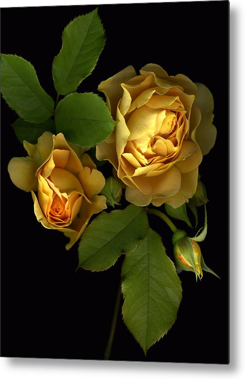 Roses Metal Print featuring the photograph Forever Yellow Roses by Deborah J Humphries