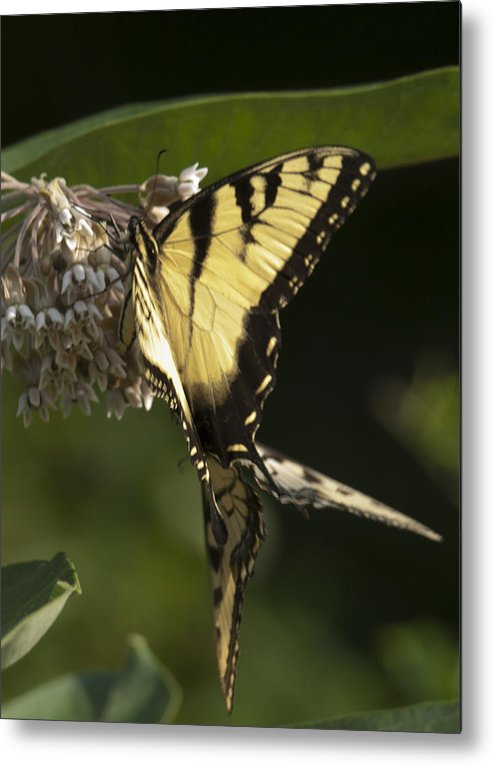 Swallowtail Metal Print featuring the photograph Mirror Image by Michael Bandeko