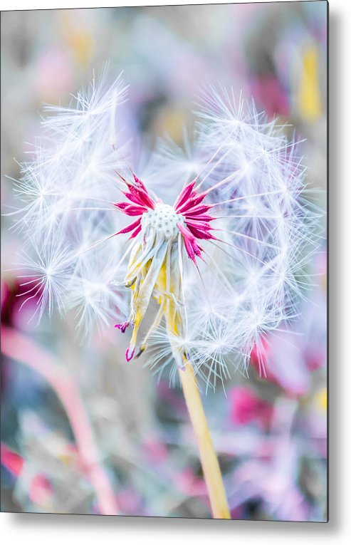 Pink Metal Print featuring the photograph Pink Dandelion by Parker Cunningham