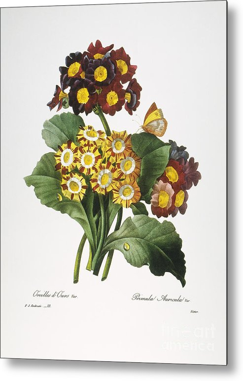 1833 Metal Print featuring the photograph Redoute: Auricula, 1833 by Granger