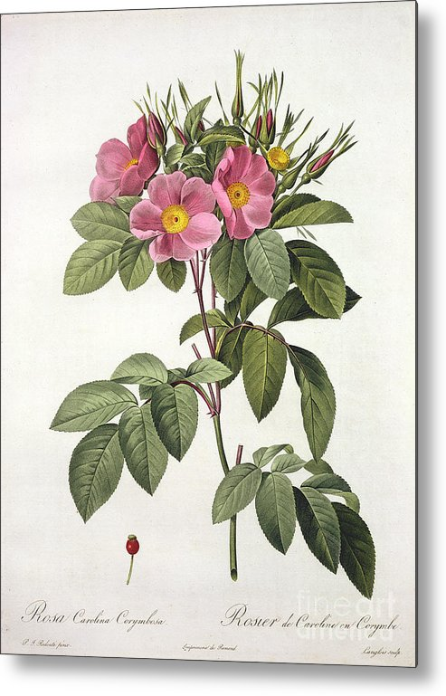 Rosa Metal Print featuring the drawing Rosa Carolina Corymbosa by Pierre Joseph Redoute