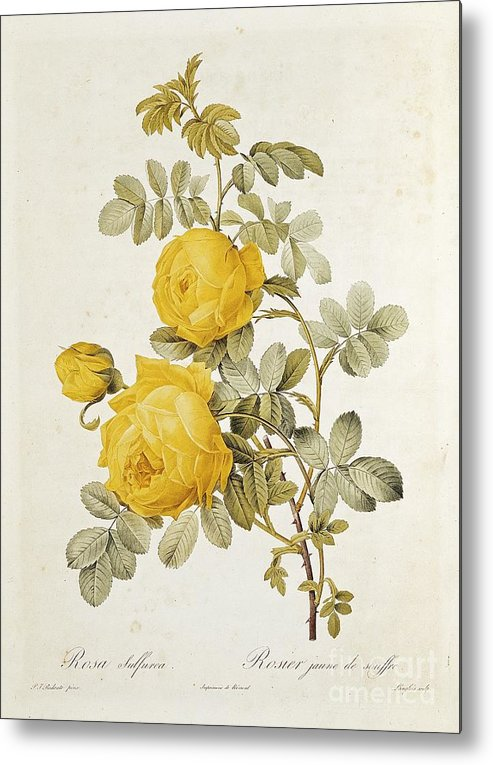 Rosa Metal Print featuring the drawing Rosa Sulfurea by Pierre Redoute