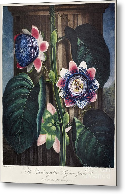 1802 Metal Print featuring the photograph Thornton: Passion-flower by Granger