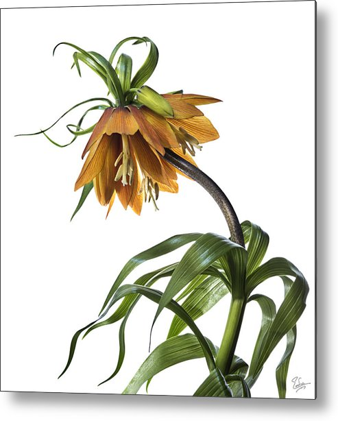 Flower Metal Print featuring the photograph Fritillaria Imperialis by Endre Balogh