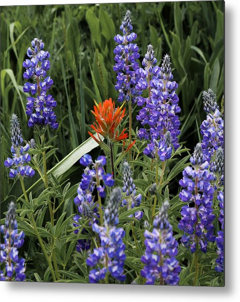 Flower Metal Print featuring the photograph Lupine With Paintbrush by Kevin Buffington