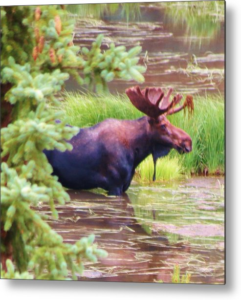 Moose Metal Print featuring the photograph Wet And Wild by Feva Fotos