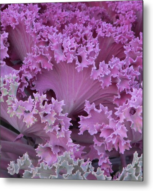 Flowers Metal Print featuring the photograph Cabbage by Michele Caporaso