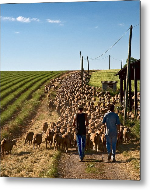 Sheep Metal Print featuring the photograph Moving The Sheep by Gareth Davies