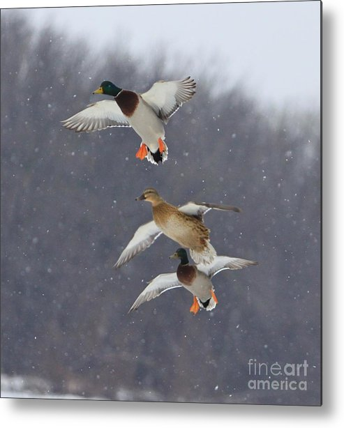 Ducks Metal Print featuring the photograph Stacked by Robert Pearson