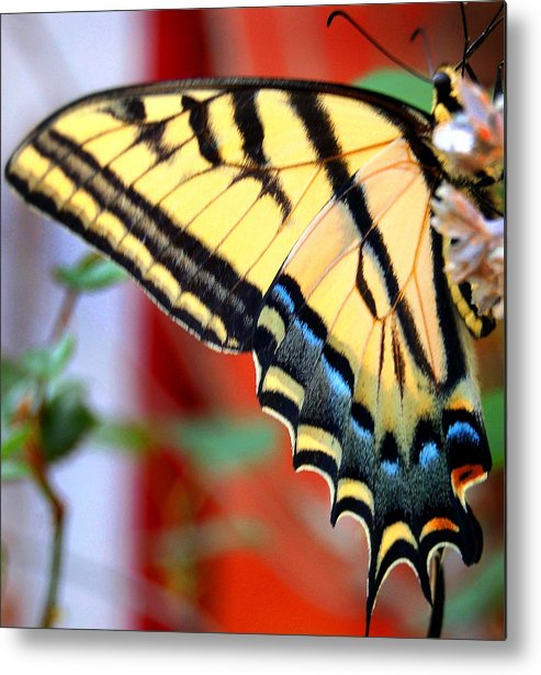Photography Metal Print featuring the photograph Swallowtail Wing by Heather S Huston