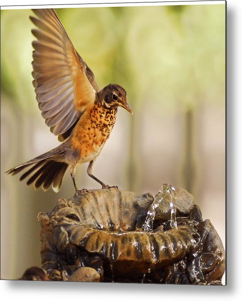 Robin Metal Print featuring the photograph Thristy Robin by Don Wolf