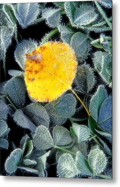 First Frost Metal Print featuring the photograph Gold On Green by Bill Morgenstern