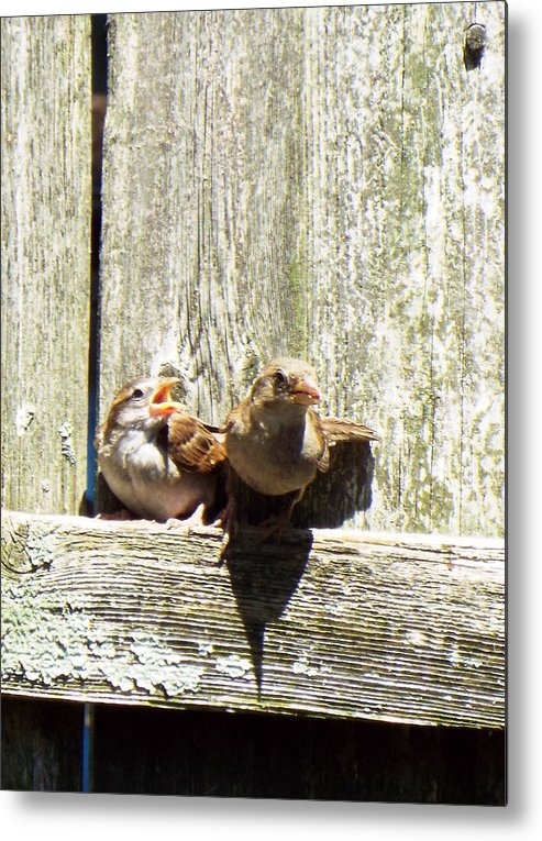 Birds Chicks Bird Fence Metal Print featuring the photograph Hey Chickie by Lisa Roy