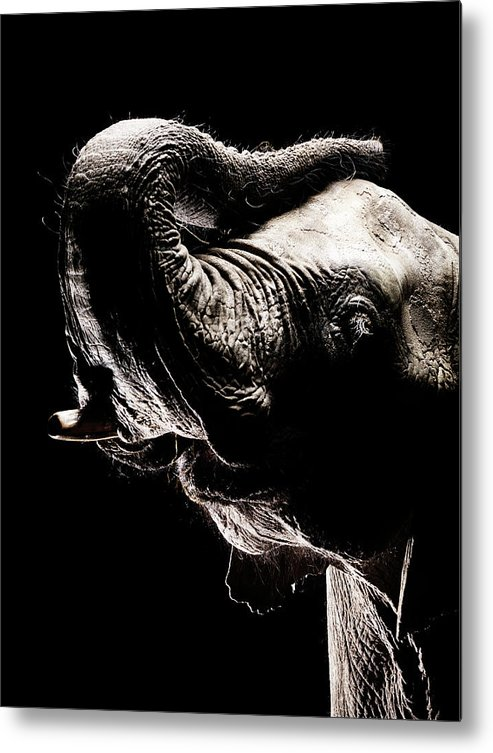 Animal Trunk Metal Print featuring the photograph African Elephant With The Trunk Raised by Henrik Sorensen