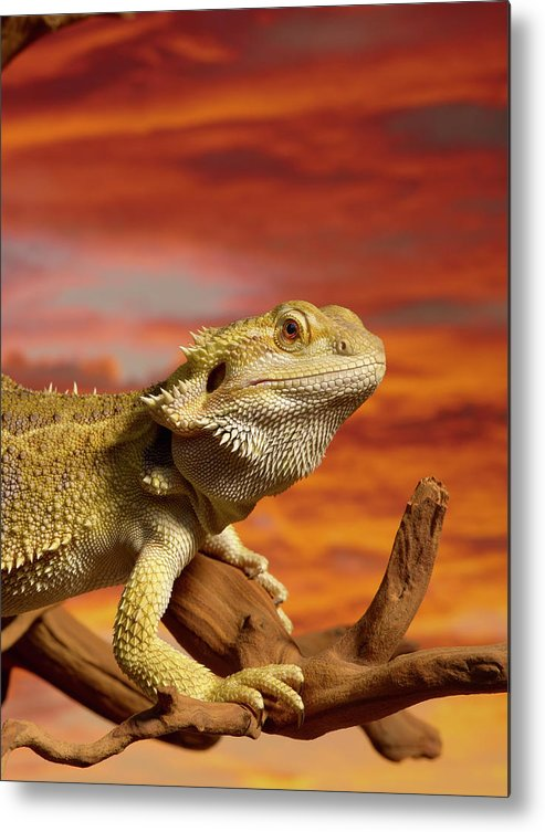 Pets Metal Print featuring the photograph Bearded Dragon Pogona Vitticeps On by Don Farrall