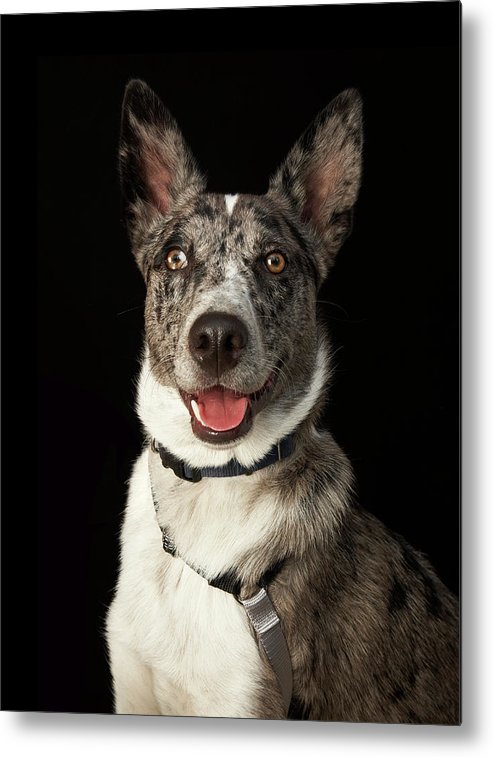 Pets Metal Print featuring the photograph Grey And White Australian Shepherd With by M Photo