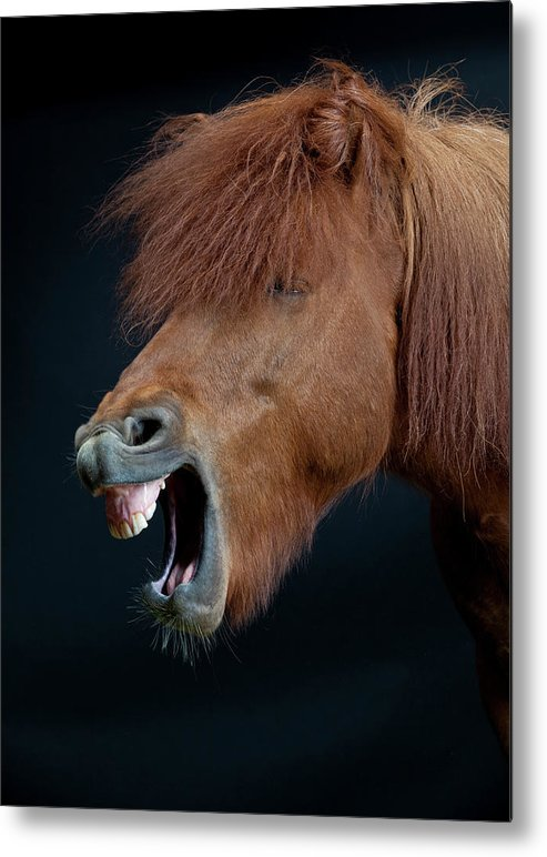 Horse Metal Print featuring the photograph Horse Showing Teeth, Laughing by Arctic-images