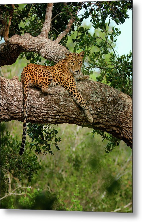 Animal Themes Metal Print featuring the photograph Leopard Sitting On A Branch by Thilanka Perera