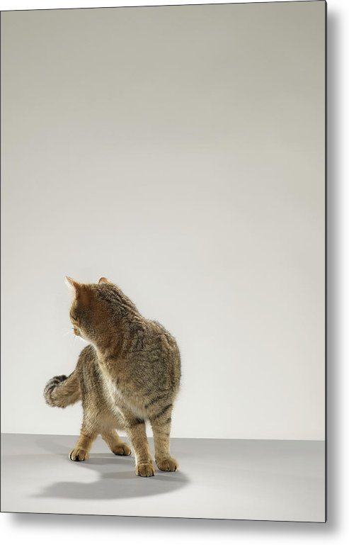 Pets Metal Print featuring the photograph Tabby Cat Looking Behind by Michael Blann