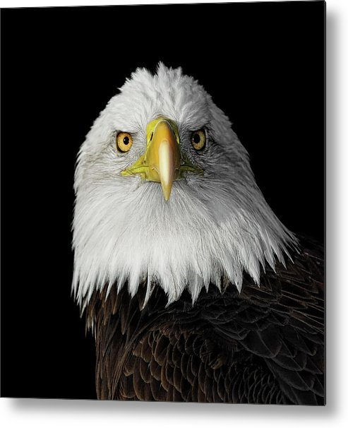 Animal Themes Metal Print featuring the photograph Bald Eagle by Dansphotoart On Flickr