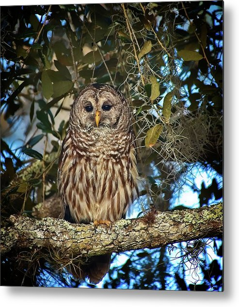 Bird Metal Print featuring the photograph Barred Owl 1 by Steve DaPonte