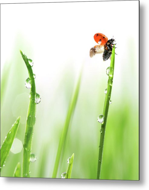 Hanging Metal Print featuring the photograph Ladybug On Green Grass by Sbayram