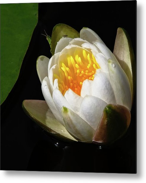 Green Metal Print featuring the photograph Water Lily 2 by Steve DaPonte