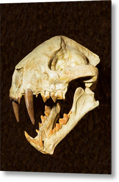 ee6923536 Nature Metal Print featuring the photograph Saber Tooth Cat Skull Fossil by  Millard H. Sharp