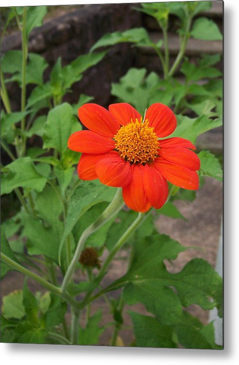 Orange Metal Print featuring the photograph Mexican Sunflower by Michael Cazad