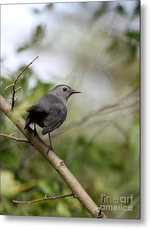 Nature Metal Print featuring the photograph Gray Catbird by Jack R Brock