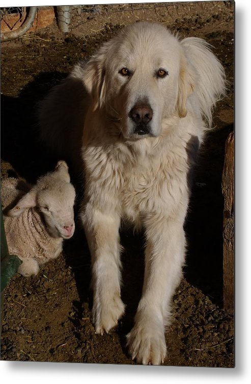 Great Pyrenees Metal Print featuring the photograph Close Personal Protection by Charles and Melisa Morrison