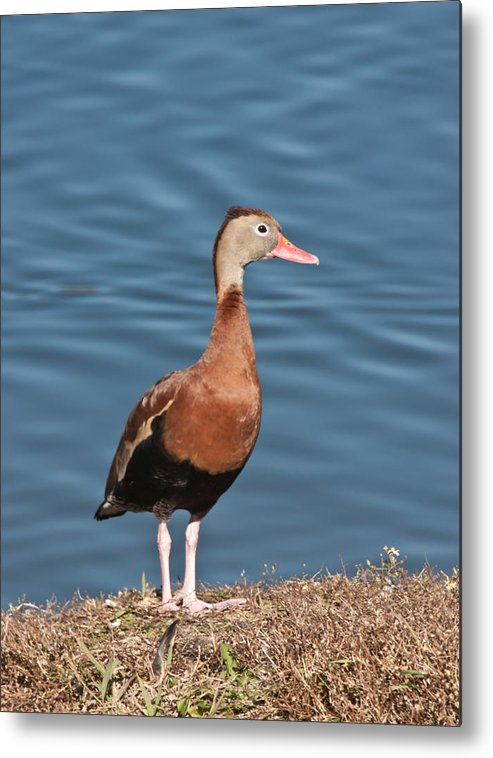 Ducks Black-bellied Whistling Blue Park Water Wildlife Nature Wings Legs Grass Metal Print featuring the photograph Standing Tall by Robert Salinas