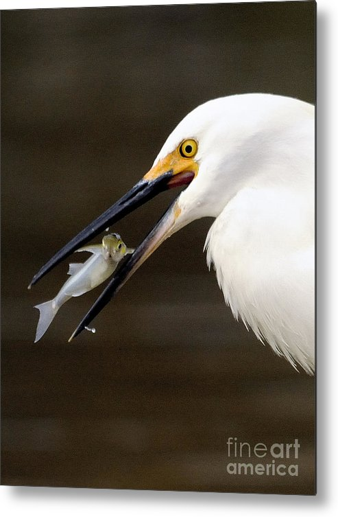 Egret Metal Print featuring the photograph Egret by Marc Bittan