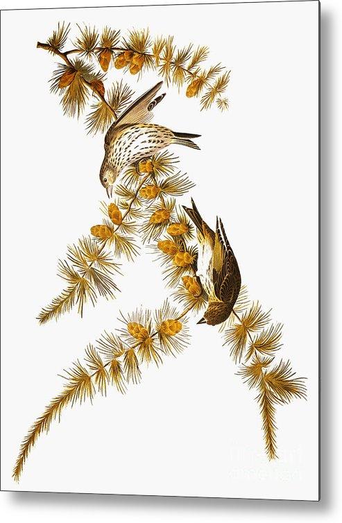 1838 Metal Print featuring the photograph Audubon: Siskin by Granger