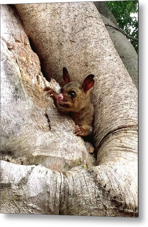 Brushtail Metal Print featuring the photograph Baby Brushtail Possum by Darren Stein