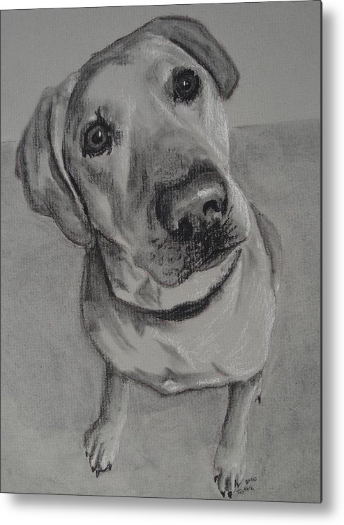 Labrador Retriever Metal Print featuring the drawing Bella Bean Labrador Retriever by Ruthie Sutter