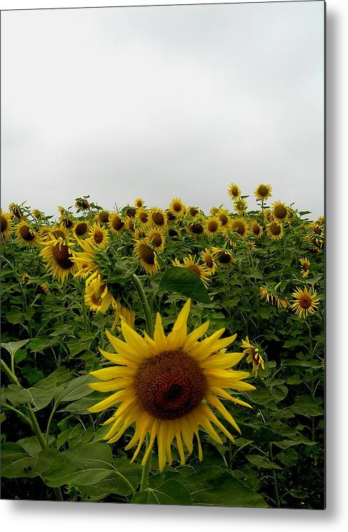 Sunflower Metal Print featuring the photograph Bowing To The Crowd by Jeanette Oberholtzer