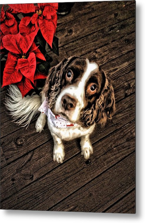 Dog Metal Print featuring the photograph Christmas Springer by Don Callahan