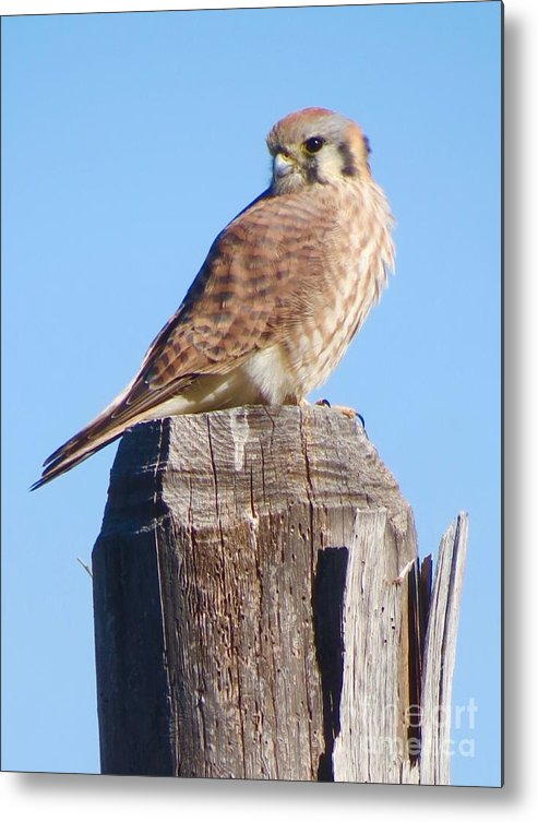 Kestrel Metal Print featuring the photograph Looking Back by Aimee Mouw