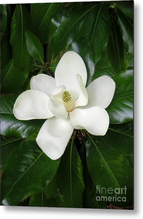 Nature Metal Print featuring the photograph Magnolia Glorious by Lucyna A M Green