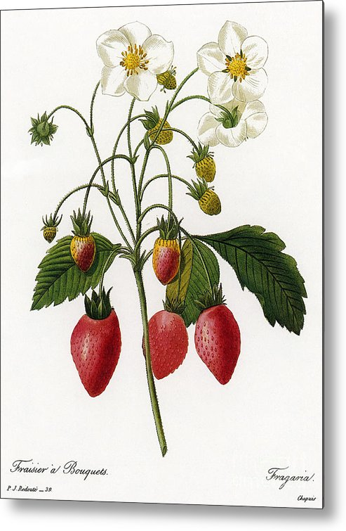 1833 Metal Print featuring the photograph Strawberry by Granger