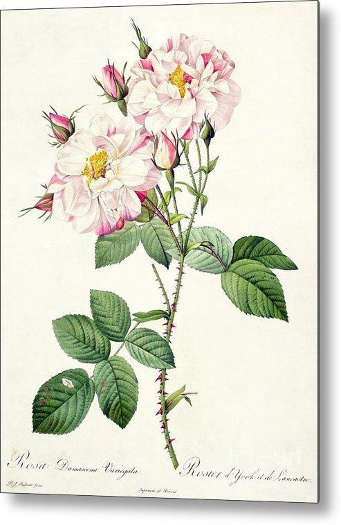 Rosa Metal Print featuring the drawing York And Lancaster Rose by Pierre Joseph Redoute